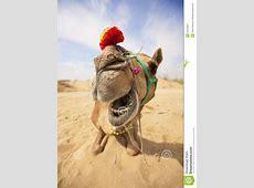 Das lachende Kamel stockbild Bild von dämmerung, himmel