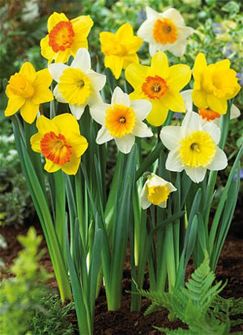 large cupped narcissus mix 20 large cupped daffodil narcissus mix 28 images pinza stock photos pinza stock images alamy
