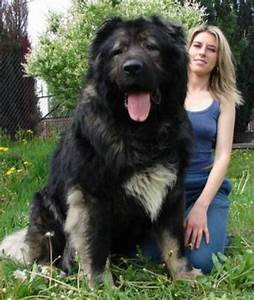 Book Of World Records: Hercules, World's Biggest Dog In ...