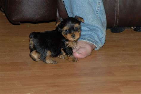 The gallery for   > Baby Yorkies Boys