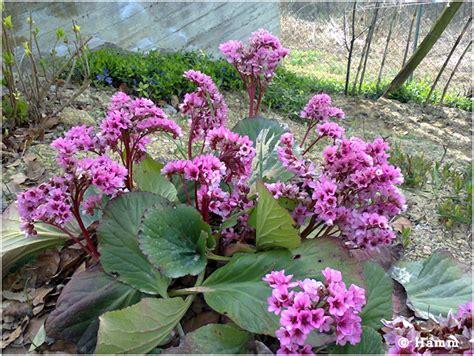 fiori di san giuseppe fiori di primavera
