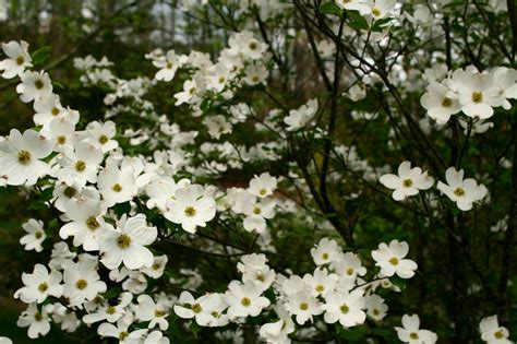 when to plant a dogwood tree kane landscapes plant of the week dogwood tree