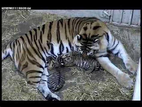 nursing tiger cubs  brookfield zoo youtube