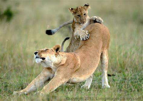 playful pride  lion cubs africa geographic