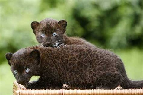 Your Morning Adorable Black Panther Cubs Mug For The