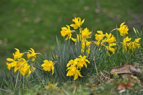 gardening daffodils signal spring  coming