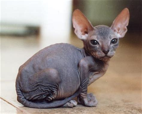 hairless cat for silly cat pictures hairless cats