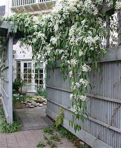 Clematis Armandii (Evergreen Clematis So excited, this is ...