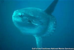 Cordell Bank NMS: Pacific Sunfish (Mola mola)