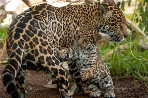 A Baby Jaguar Plays Tag With His Mother Picture