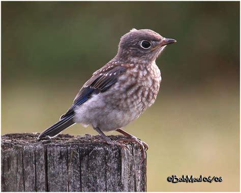 eastern bluebird fledgling photo bob moul photos at