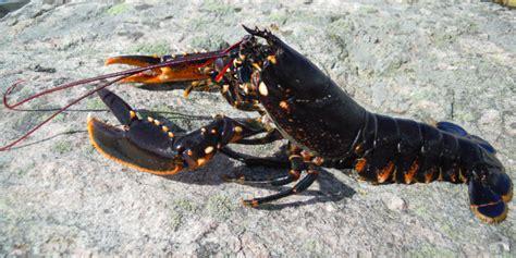 cuisiner le homard vivant homard breton vivant ou cuit marée