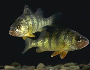 Perch - Wikipedia  Perch