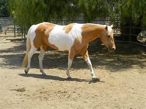 Palomino Paint Horse Stock 4 by thetautoutrain on DeviantArt