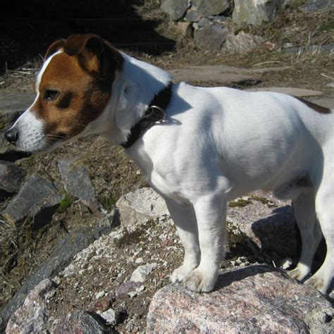 jack russell terrier breed guide learn   jack