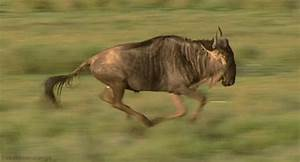 Great Migrations Wildebeest GIF by Head Like an Orange ...