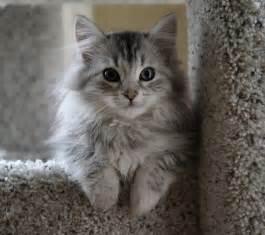 siberian cats for easily adopt siberian cats as pet trendy mods
