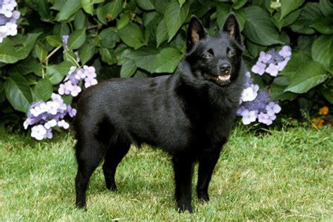 schipperke info temperament training diet puppies