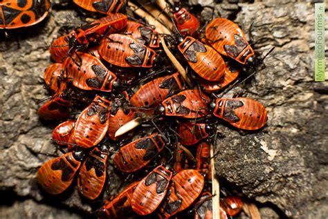 Combattre Les Punaises De Jardin by Punaise Insecte Related Keywords Punaise Insecte Long