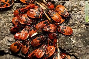 Insecte Qui Mange Le Bois : que mange le gendarme l 39 insecte ~ Farleysfitness.com Idées de Décoration