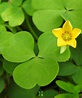 Lucky Irish Shamrock Plants Delivered As Gifts