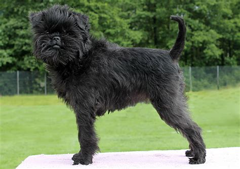 Affenpinscher Puppies Rescue Pictures Information Temperament Characteristics Animals