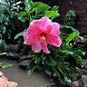 Dwarf Pink Ixora - myBageecha