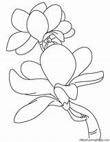 Magnolia Coloring Blooming Pages Bestcoloringpages sketch template