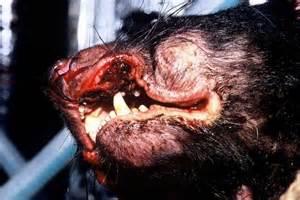 Tasmanian devil with contagious cancer-like facial tumour ...