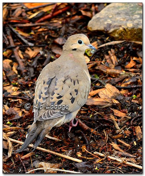 doves and pigeons ladage photography