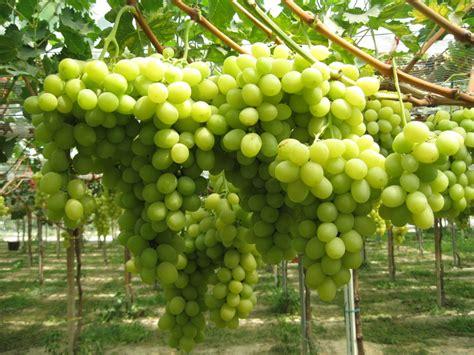 varietà uva da tavola crea e privati insieme per nuove variet 224 italiane di uva