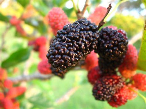 mulberry tree no fruit dwarf mulberry tree black morus nigra