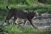 Photo Month feature: The elusive Iberian lynx - Species360