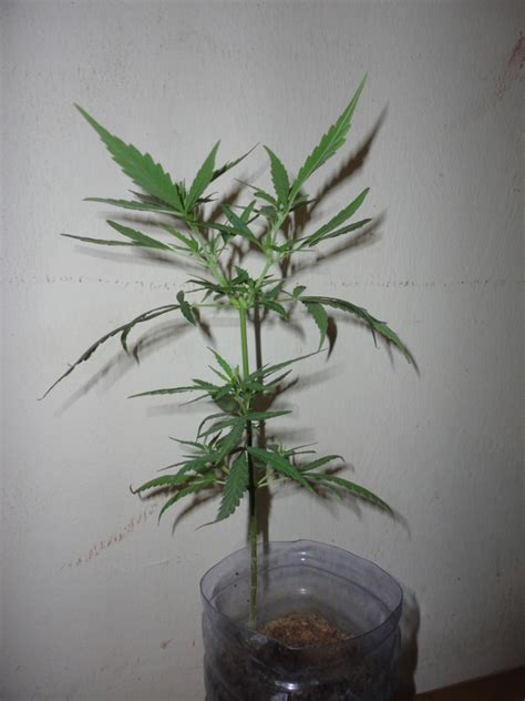 grow ls for weed the house of the rising sun my experiment plant