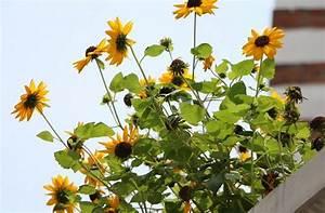 2020 Mini Sunflower Seeds Dwarf Sunflower Seeds  Garden