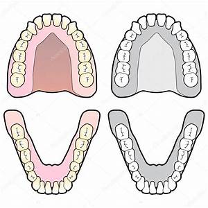 Tooth Dental Chart  U2014 Stock Vector  U00a9 Gleighly  8373042