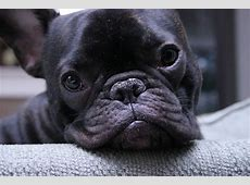 French Bulldog Dogs breeds Molosoides Pets