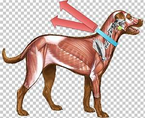 Dog Muscular Anatomy