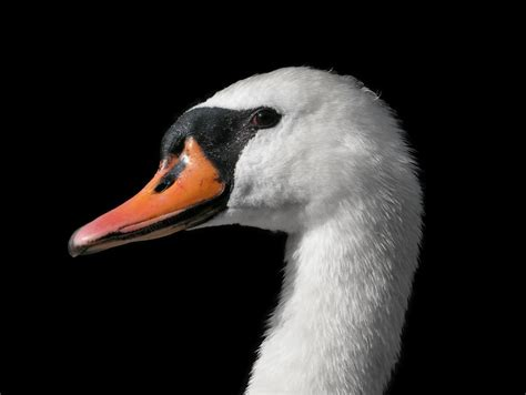 Female Mute Swan Portrait By Deinonychusa On Deviantart