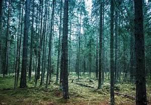 Dark pine tree forest landscape, Karelia, Russia. Vintage ...