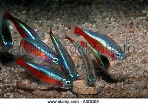 Neon fish neon tetras CHEIRODON AXELRODI school shoal of