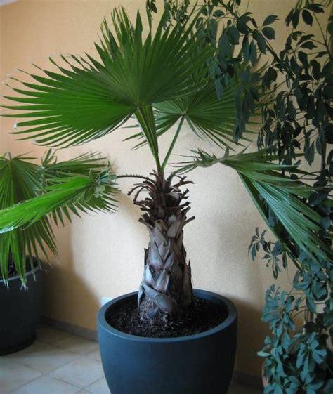 grosse palme fuer terrasse wohnzimmer im anthrazitfarbenen
