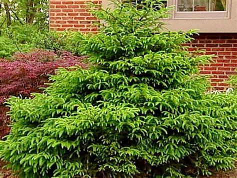 low height shrubs pics for gt compact evergreen shrubs