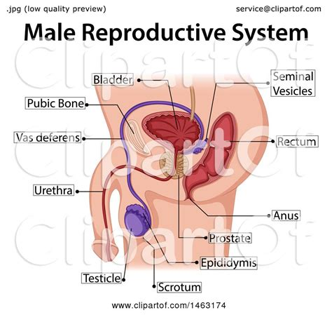 clipart   medical diagram   male reproductive
