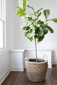 fiddle fig tree How To Repot A Fiddle Leaf Fig Tree - Room For Tuesday