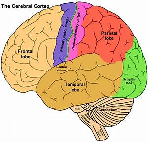 Under The Cortex Diagram