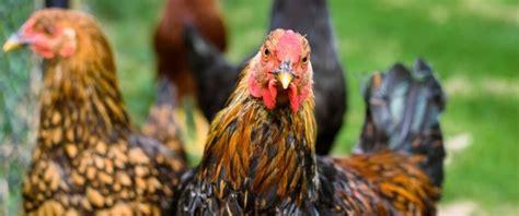 On 13 november 2007 turkeys at a farm on the. Bird Flu (Avian Flu) : Causes, Symptoms and Prevention - High Rated Gabru