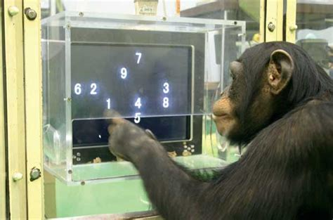 evolution   brain  social behavior  chimpanzees