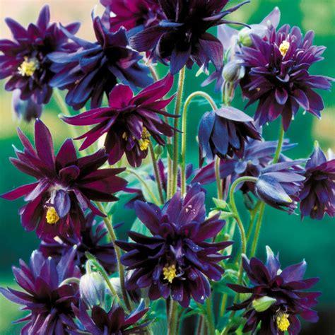 black columbine flower aquilegia black barlow
