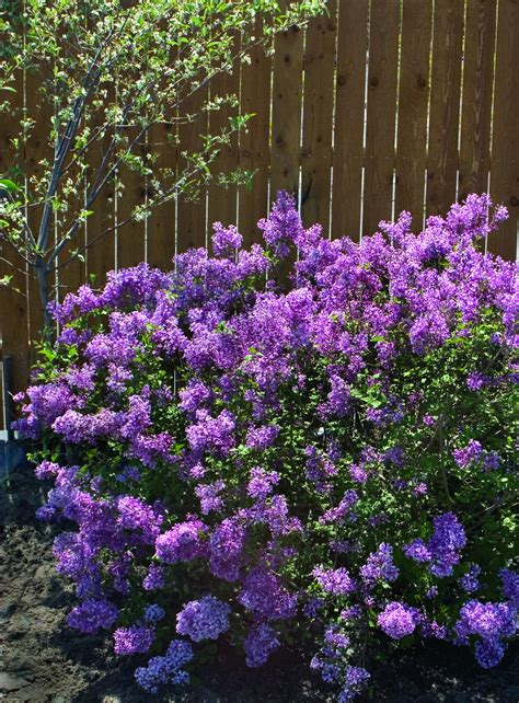 lilacs that bloom all summer amazing plants for the new year as seen on kdka s pittsburgh today live 171 doug s blog